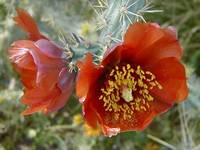 Red Cholla Cactus Flower