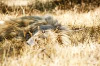 Resting Lion 001 Johannesburg, South Africa