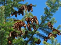 Blue Sky Conifer Pine Cone Forest Botanical