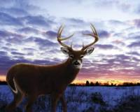 Sunrise Whitetail