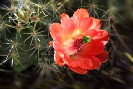 Claret Cup Cactus by Paul Hood