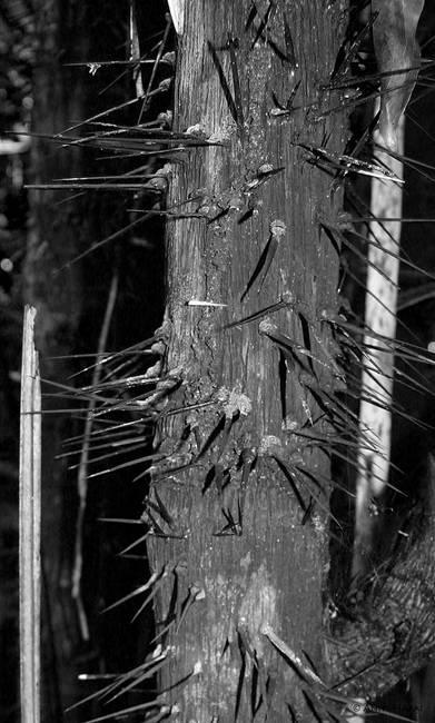 Spiny tree