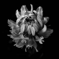 Red Clover In Black And White