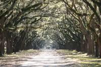Live Oaks Lane with Gate by Carol Groenen
