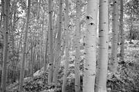 Aspen Grove - Dixie National Forest