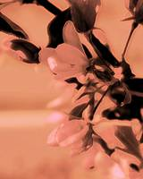 Apple Blossom  0193 Sepia Edit