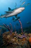 Carribbean reef sharks over a coralhead.