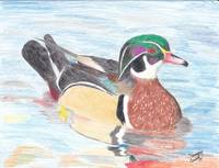 Wood Duck and Reflections