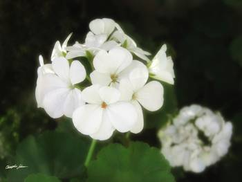 White Geraniums 4 by Christopher Johnson