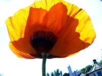 Poppy in My Day Colours