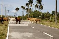 Crossing cattle