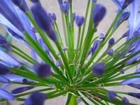Agapanthus Bee's Eye View