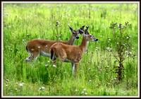 White Tail deer young doe and buck