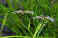 Dragonfly Twins