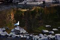 Single Gull By Reflecting Pool