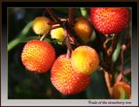 Arbutus - the strawberry tree