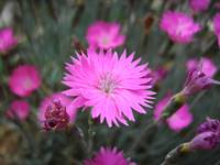 Pink Flowers Ground Cover Closeup