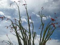 Ocotillo in the Sky