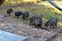 Javelina in the campsite