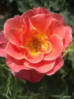Intense Pink and Yellow Rose 2