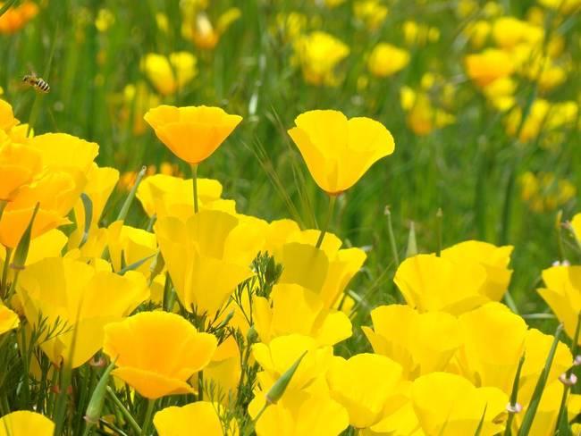 Golden poppy flowers orange poppies by baslee troutman fine art prints mightylinksfo