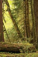 Falling Trees in the Rainforest by Carol Groenen