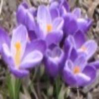 A Gathering of Crocus