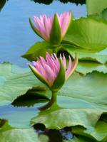 Lily Pad Blossoms