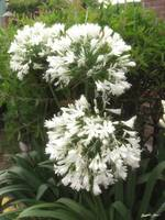White Allium 2