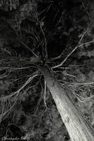 Evergreen Tree Black and White