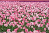 Field of Pink
