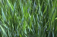 detail of blades of grass on lawn