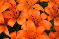 Orange Lilies (Wide)