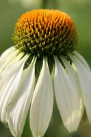 Droopy White Coneflower 2