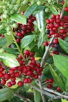 Red and Green Holly Berries