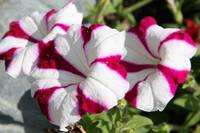 Fushia and White Petunias