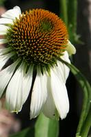 White Coneflower Daisy Bent Stem