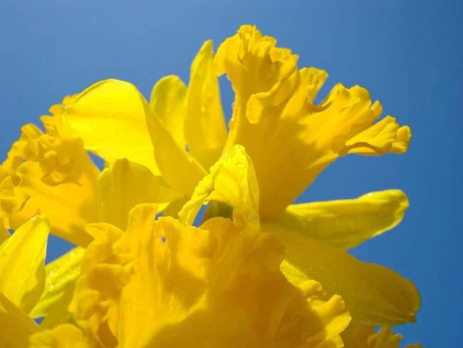 Daffodils art prints yellow flowers blue sky by baslee troutman fine daffodils art prints yellow flowers blue sky by baslee troutman fine art prints mightylinksfo