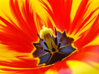 Tulip Flower Macro Tulips art Prints Spring