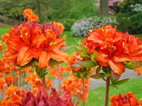Rhododendrons art print Orange Rhodies Landscape