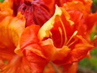 Orange Rhodie Flower art print Rhododendron Macro