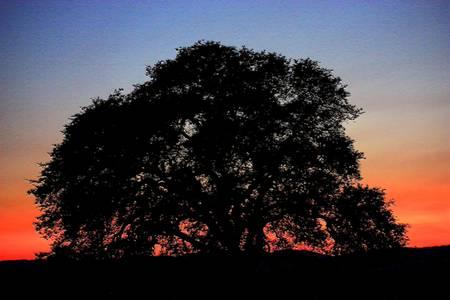 California Oak Sunset