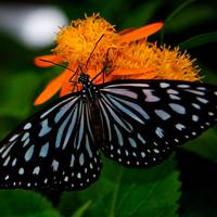 Butterfly Show 9