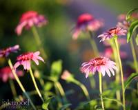 sundown on the coneflowers