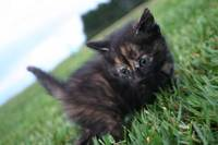 Black and Brown baby kitten