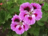 Purple and Mauve Geraniums 1