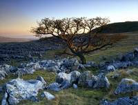 Lone Tree Yorkshire Dales UK