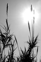 black and white reeds