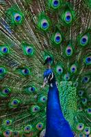 Peacock with Tail Open