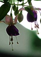 Fuschia from Below
